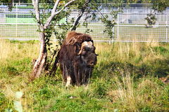 The musk ox Royalty Free Stock Image