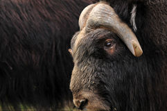 Musk ox closeup. Closeup of a musk ox with others from the herd in the background Stock Photography