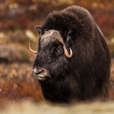 Musk ox. At Dovre in Norway Royalty Free Stock Image