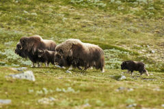 Musk Ox in Dovrefjell Norway. Musk Ox family roam in mountainous region of Dovrefjell Norway Royalty Free Stock Photos