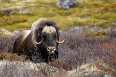 Musk ox. In Dovrjefell, Norway Stock Photo