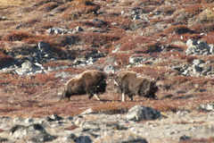 Musk Ox Duel - Greenland Royalty Free Stock Photo