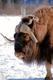 Musk Ox Face Vertical Stock Image