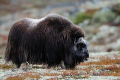 Musk ox female  in autumn landscape. Musk ox female in a autumn landscape, dovrefjell, norway, ovibos moschatus Royalty Free Stock Image