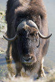 Musk ox in Gaiapark Stock Image