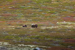 Musk ox grazing in national park in Norway Stock Photography