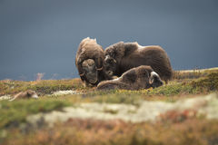 Musk Ox Group Stock Photo