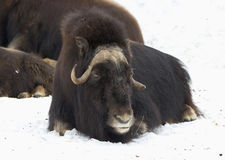 Musk ox. A herd of musk oxen are not running away from predators, and forms a protective circle, inside of which are calves. When the predator attacks this ring Royalty Free Stock Photo