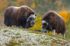 Free Musk-ox In A Fall Colored Setting At Dovrefjell Norway. Royalty Free Stock Photo - 133124305
