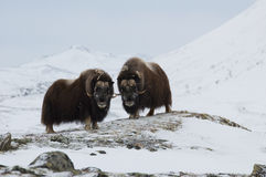 Musk-ox In Winter Royalty Free Stock Images