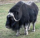 Musk-ox 7 Stock Photos