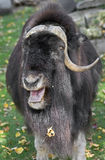 Musk-ox 14 Royalty Free Stock Photos