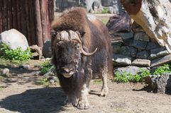 Musk-ox Stock Image