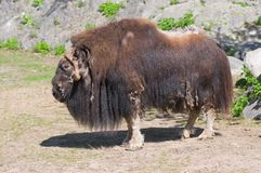 Musk ox. Or musk-ox (Latin Ovibos moschatus) - the only member of the genus modern muskoxen (Ovibos) from the family of bovids Stock Image