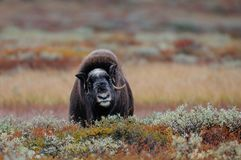Musk ox look  in autumn landscape. Musk ox llok  in a autumn landscape, dovrefjell, norway, ovibos moschatus Royalty Free Stock Photography