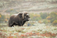 Musk Ox. A lone female Musk Ox snorts her displeasure at the presence of the photographer.  She wants to rejoin the herd but the camera is in her way, so she Stock Photo