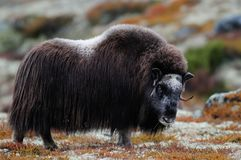 Musk ox look in autumn landscape. Musk ox look in a autumn landscape, dovrefjell, norway, ovibos moschatus Royalty Free Stock Image