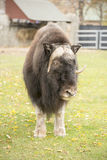 Musk Ox looking at you Royalty Free Stock Images