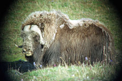 Musk ox male Stock Photography