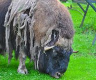 Musk ox. Nibbles the grass stock image