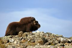 Musk Ox - Ovibos Moschatus. A Norvegian male musk ox standing on a mountain Royalty Free Stock Photo