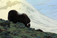 Musk Ox, Ovibos moschatus, evening scene, with mountain and snow in the background, big animal in the nature habitat, Greenland Royalty Free Stock Photography