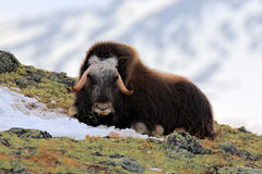 Musk Ox, Ovibos moschatus, with mountain Snoheta in the background, big animal in the nature habitat, Dovrefjell–Sunndalsfjella Stock Photos