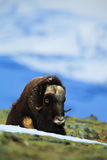 Musk Ox, Ovibos moschatus, with mountain and snow in the background, big animal in the nature habitat, Greenland Royalty Free Stock Images