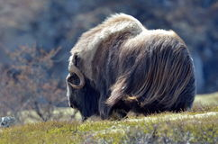 Musk ox. Ovibos Moschatus - in natural habitat Royalty Free Stock Photography