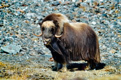 Musk ox - Ovibos Moschatus - in natural habitat Stock Photos