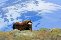 Musk Ox, Ovibos Moschatus, With Mountain And Snow In The Background, Big Animal In The Nature Habitat, Norway. Wildlife Europe, Bi Stock Photo