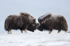 Musk Ox pair fighting, Norway. Dovrefjell National Park Stock Images