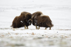 Fighting Musk-ox pair in Norge Stock Photo