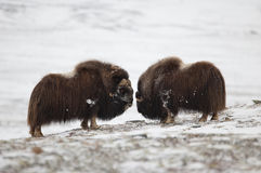 Fighting Musk-ox pair in Norge Stock Image