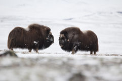 Musk-ox pair in Norge in Dovrefjell Nation Park Royalty Free Stock Image