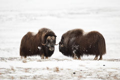 Musk-ox pair in Norge in Dovrefjell Nation Park Stock Photos