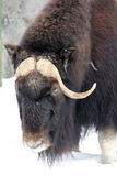 Musk ox portrait. Moscow zoo, winter 2013 Royalty Free Stock Images