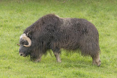 Musk Ox in a Preserve Royalty Free Stock Images