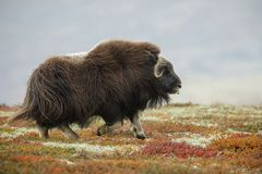 Musk ox running royalty free stock images