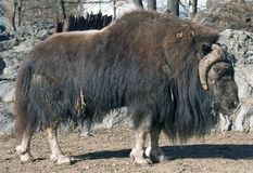 Musk-ox Stock Photos