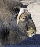 Musk-ox Royalty Free Stock Images