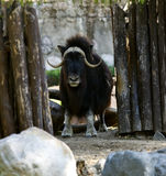 Musk ox stand in zoo Stock Photo