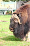 Musk ox. Stock Image