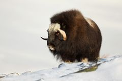 Musk Ox standing in the snow. Mountains in Norway Royalty Free Stock Photography