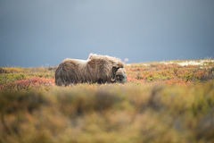 Musk Ox. Stormy skies form a backdrop to a bull Musk Ox grazing on the lichens and mosses of Dovrefjell National Park in Norway Stock Image