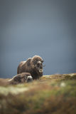 Musk Ox. Stormy skies form a backdrop to a pair of female Musk Ox that have been grazing on the lichens and mosses of Dovrefjell National Park in Norway Stock Photo