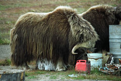 The musk ox on a visit, royalty free stock images