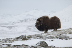Musk-ox in winter. Mosk-ox pair in Norge in Dovrefjell Nation Park Stock Photo