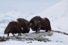 Musk-ox in winter Royalty Free Stock Photos