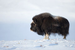 Musk Ox in winter. Norway Stock Photos
